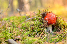 Poisonous Red Toadstool In Autumn Forest