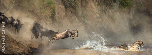 Tela Wildebeests are crossing  Mara river