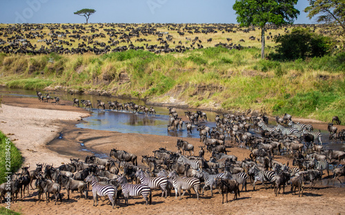 Big herd of wildebeest in the savannah. Great Migration. Kenya. Tanzania. Maasai Mara National Park. An excellent illustration.