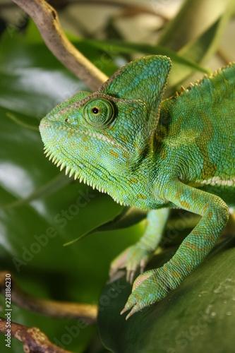 Cadres-photo bureau Cameleon veiled chameleon