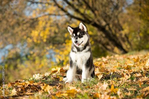 puppy of alaskan malamute Canvas Print