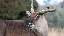 Roan Antelope With Broken Antl...