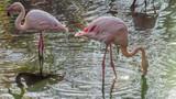 Fototapeta Zwierzęta - Flaming Różowy