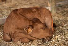 Brown Cow Sleeping