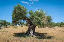 Olive Tree, 1000 Years Old Or ...