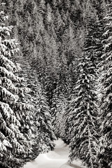 Fototapeta Drzewa View at winter pine tree forest in mountain. Image in black and white color style