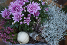 Colorful Autumnal Chrysanthemum Decoration. Blossoming Flowers In A The Pots With Herbs, Little Pumpkin In Basket.