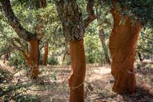 Cork Trees (Quercus Suber) Wit...