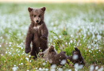 Bear Cub stands on its hind legs. Brown bear ( Scientific name: Ursus arctos) cubs playing on the swamp in the forest. White flowers on the bog in the summer forest.