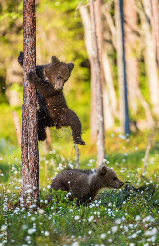 Photographie Brown bear cubs playing in the forest