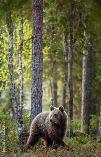 Brown bear cub in the summer forest.  Scientific name: Ursus arctos.