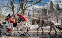 Carriage Horses Walk Past On A Snowy Day In Central Park