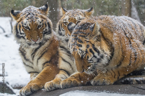 Fotografie, Obraz  Snow falling on tigers that are cuddling on a rock