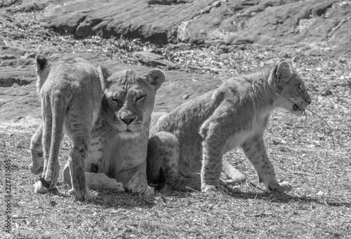 Fotografie, Obraz  Lioness cuddles with her cubs