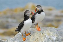Atlantic Puffins, Machias Seal...