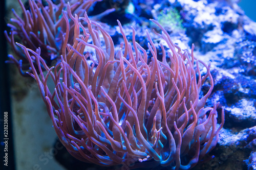 Canvas Print rainbow bubble tip anemone