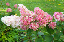 Hydrangea Paniculata Vanille Fraise White And Red Flowers