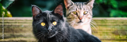 Fototapeta Black cat with yellow eyes banners . Two cute cats outside in garden looking. Panoramic crop. House pets animals. obraz