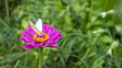 Violet zinnia with a butterfly in green field