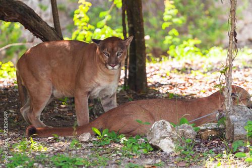 Pumas in wildlife at the jungle of Jucatan, Mexico