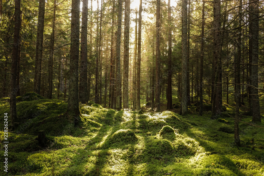 Fototapety, obrazy: Coniferous forest, ground covered of green moss. Backlit trees. Mystic atmosphere.