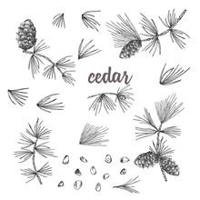 Set Ink Sketch Of Cedar Branch...