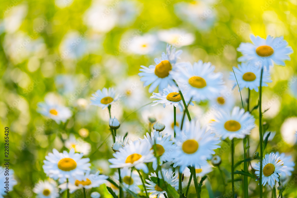 Fototapeta Flowers field of camomiles in garden in sunny day, wallpaper background. White chamomile field.