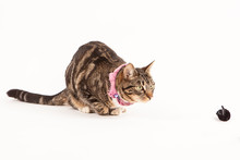 Young Tabby Cat Hunting Toy Mo...