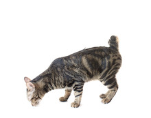 Thai American Shorthair Bobtail Cat Sniffing And Smell The Floor Isolated Background.