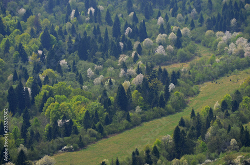 Spring Carpathian landscape with white flowering pears, bright green bushes and dark spruces on the hillside