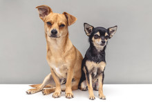 Chihuahua Puppies Isolated On White Background
