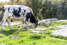 Black White Cow In The Hills Of Lessinia