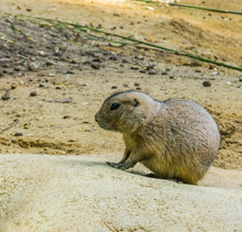 Very Cute Prairie Dog On A Rock In Close Up Adorable Rodent Animal Portrait