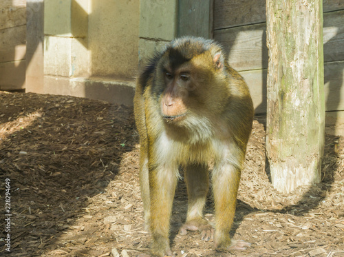 Tuinposter Aap Brown macaque monkey standing next to a wooden pole looking bored and a bit sad primate animal portrait