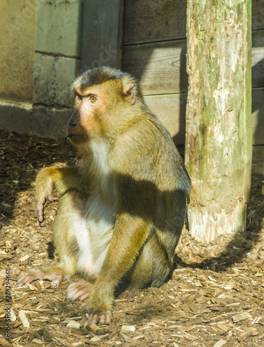Foto op Plexiglas Aap brown macaque monkey sitting on the ground looking a bit angry or serious primate animal portrait