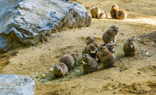 Adorable Rodent Animal Family Portrait Of A Group Of Small Cute Prairie Dogs Eating Together In A Sandy Landscape
