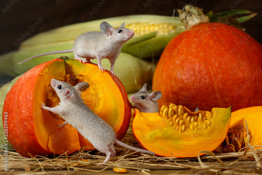 Fototapety, obrazy: Close-up three young mice climbs on orange pumpkin in the warehouse. Small DoF focus put only to mouse on top of pumpkin.