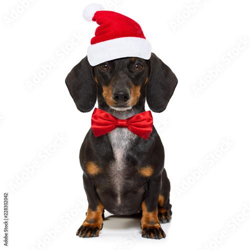 Foto op Canvas Crazy dog christmas santa claus dog