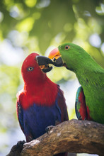 Couple Of Eclectus Parrot (Ecl...