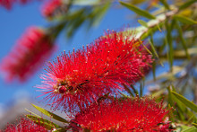 Bright Red Bottlebrush Flower