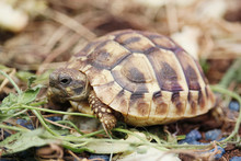 Close-up Of A Hermann Tortoise.