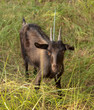 Portrait of a black goat on a pasture