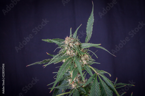 Photo  plant of marihuana inflorescence, on black background, Cannabis indica