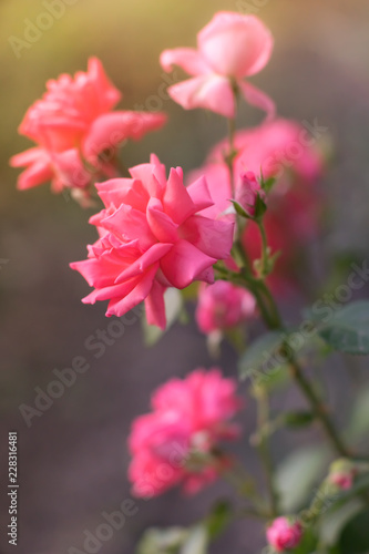 Tuinposter Azalea Pink pale roses bush with magical light in the summer garden.