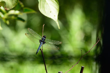 White-tailed Skimmer Is A Comm...