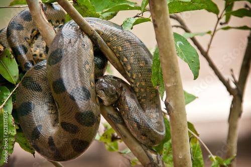 Photo Anaconda