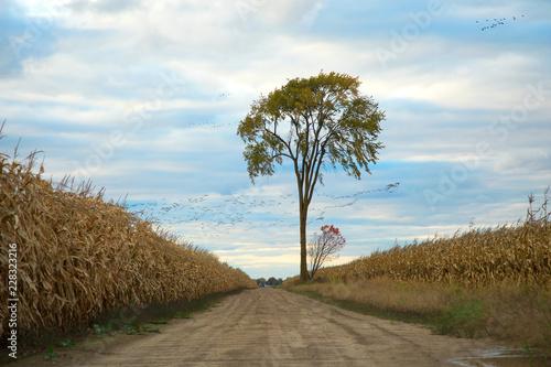 Lonely tree in a corn field
