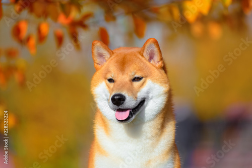 Poster Chien Portrait of a dog breed Shiba inu in autumn Park.
