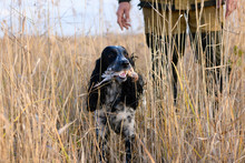 One Hunting Dog Of Breed A Spaniel With The Wounded Quail And Caucasian Hunter Are Standing In Thickets Of A High Grass. Autumn Hunt For Migratory Bird.