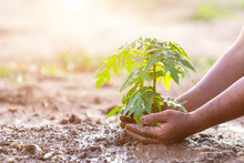 Hand Holding Soil And Planting Young Papaya Tree Into Soil. Save World And Ecology Concept